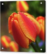 Tulips And Raindrops Acrylic Print by colorcarnival (Michelle White)