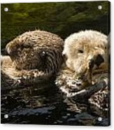 Two Captive Sea Otters Floating Back Acrylic Print by Tim Laman