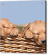 Two Cute Puppies Asleep In Basket Acrylic Print by Cindy Singleton