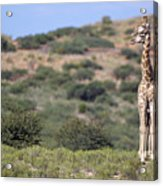 Two Giraffes Looking Into The Distance Acrylic Print by Heinrich van den Berg
