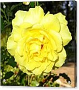 Upbeat Yellow Rose Acrylic Print by Will Borden