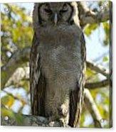 Verreauxs Eagle Owl, Bubo Lacteus, Or Acrylic Print by Paul Sutherland