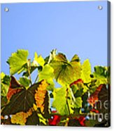 Vineyard Leaves Acrylic Print by Carlos Caetano