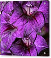 Violet Glads Acrylic Print by Susan Herber
