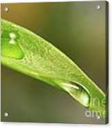 Water Droplets On A Lily Leaf Acrylic Print by Sandra Cunningham