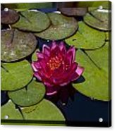 Water Lilly 4 Acrylic Print by Charles Warren