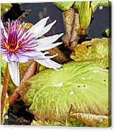 Water Lilly Close Up Acrylic Print by Forest Alan Lee