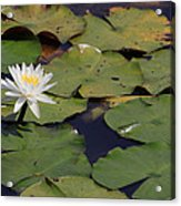 Water Lilly Acrylic Print by Forest Alan Lee