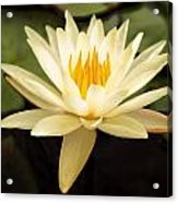 Water Lily Acrylic Print by Darren Fisher