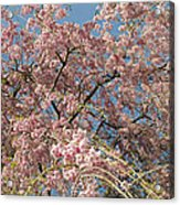 Weeping Cherry Tree In Bloom Acrylic Print by Todd Gipstein