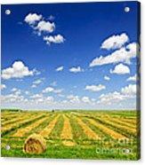 Wheat Farm Field At Harvest Acrylic Print by Elena Elisseeva