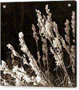Whisper Gently Acrylic Print by Carolyn Marshall