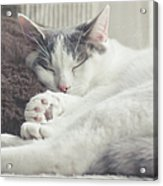White And Grey Cat Taking Nap On Couch Acrylic Print by Cindy Prins