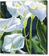 White Calla Lilies Acrylic Print by Sharon Freeman