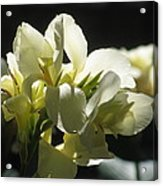 White Canna Lily Acrylic Print by Alfred Ng