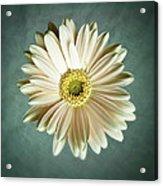 White Daisy Acrylic Print by Tamyra Ayles