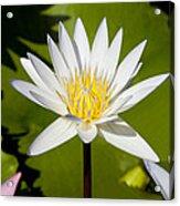 White Lotus Acrylic Print by Kelley King