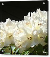 White Sunlit Floral Art Prints Rhododendron Flowers Acrylic Print by Baslee Troutman