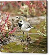 White Wagtail Acrylic Print by Photostock-israel