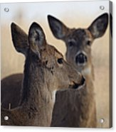 Whitetail Deer Acrylic Print by Ernie Echols