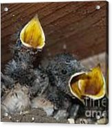 Wild Animals Baby Birds Www.pictat.ro Acrylic Print by Preda Bianca Angelica