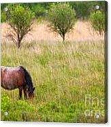 Wild Horse Grazing Acrylic Print by Richard Thomas