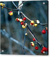 Wild Red Berries Out Of The Shell Acrylic Print by LeeAnn McLaneGoetz McLaneGoetzStudioLLCcom