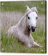 Wild Welsh Pony Acrylic Print by Steve Hyde