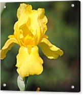 Yellow Iris Acrylic Print by Jai Johnson