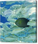 Yellow Surgeon Fish With Yellow Stripe Goldfish Acrylic Print by Comstock