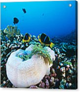 Yellowtail Anemonefish By Their Anemone Acrylic Print by Alexis Rosenfeld