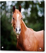Young Brown Quarter Horse Acrylic Print by Jorja M. Vornheder