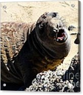 Young Elephant Seal Molting . 7d16100 Acrylic Print by Wingsdomain Art and Photography