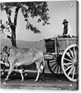 Zebu Cart Acrylic Print by Richard Harrington