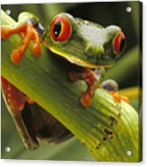 A Red-eyed Tree Frog Agalychnis Acrylic Print by Steve Winter