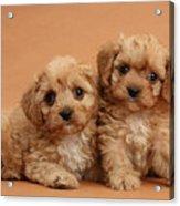 Cavapoo Pups Acrylic Print by Mark Taylor