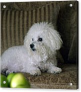 Fifi The Bichon Frise  Acrylic Print by Michael Ledray