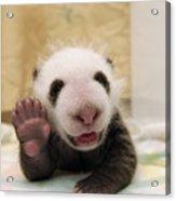 Giant Panda Ailuropoda Melanoleuca Cub Acrylic Print by Katherine Feng
