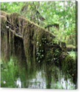 Hall Of Mosses - Hoh Rain Forest Olympic National Park Wa Usa Acrylic Print by Christine Till