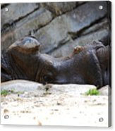 Indian Rhinoceros Acrylic Print by Thea Wolff