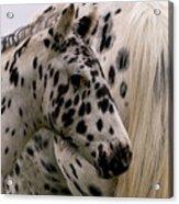 Knabstrupper Foal Acrylic Print by Michael Mogensen