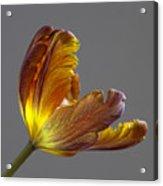 Parrot Tulip 21 Acrylic Print by Robert Ullmann