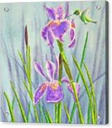 Purple Dutch Iris And Hummer Acrylic Print by Kathryn Duncan