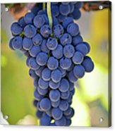 Red Grapes Acrylic Print by Brandon Bourdages
