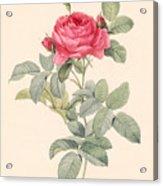 Rosa Gallica Pontiana Acrylic Print by Pierre Joseph Redoute
