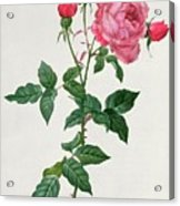 Rosa Indica Acrylic Print by Pierre Joseph Redoute