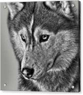 Siberian Husky 2 Acrylic Print by Larry Linton