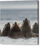 Stellers Sea Lion Eumetopias Jubatus Acrylic Print by Michael Quinton
