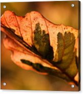 Tri-color Beech In Autumn Acrylic Print by Angela Rath