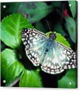 Tropical Checkered Skipper Acrylic Print by Thomas R Fletcher